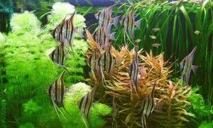 Якщо в будинку є акваріум: скалярія, догляд та утримання