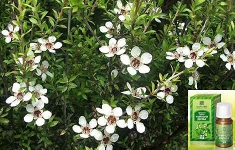 Ефірна олія чайного дерева властивості і застосування
