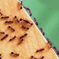 Як боротися з домашніми мурахами, причини появи комах