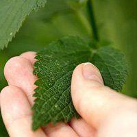 Кропива при кровотечах, корисні властивості рослини