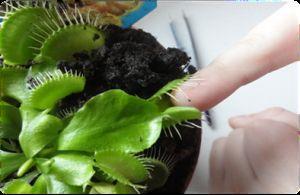 Приручити хижака: венерина мухоловка в домашніх умовах