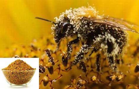 Пилок бджолиний корисні властивості і застосування
